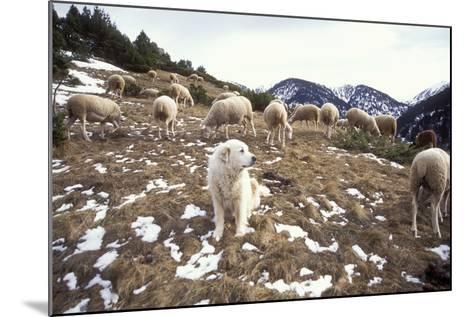 Pyrenean Mountain Dog Protecting Sheep--Mounted Photographic Print