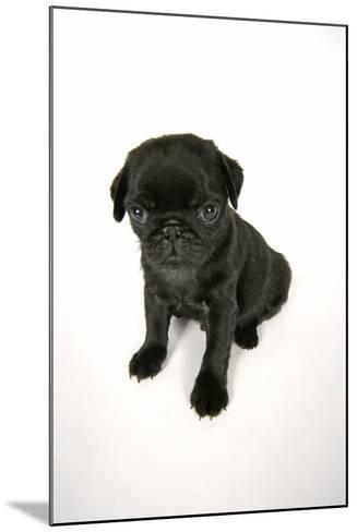 Black Pug Puppy (6 Weeks Old)--Mounted Photographic Print