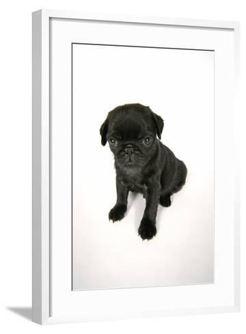 Black Pug Puppy (6 Weeks Old)--Framed Art Print