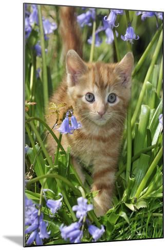 Kitten (Ginger) in Bluebells--Mounted Photographic Print