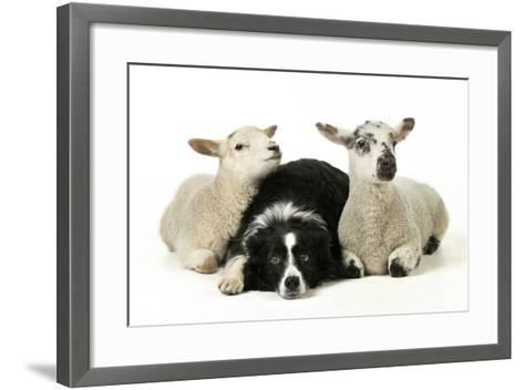 Dog and Lamb, Border Collie Sitting Between Two Cross--Framed Art Print