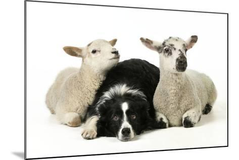 Dog and Lamb, Border Collie Sitting Between Two Cross--Mounted Photographic Print