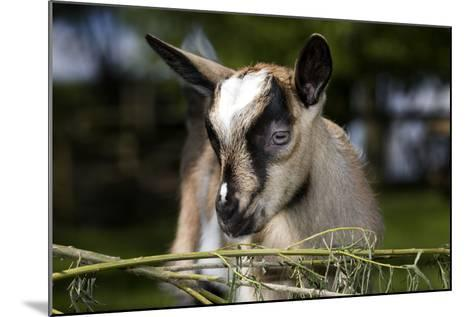 Brown Goat Kid at Fence in Garden--Mounted Photographic Print