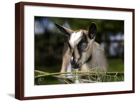 Brown Goat Kid at Fence in Garden--Framed Art Print
