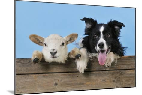 Dog and Lamb, Border Collie and Cross Breed Lamb--Mounted Photographic Print