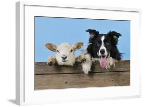 Dog and Lamb, Border Collie and Cross Breed Lamb--Framed Art Print