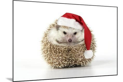 Hedgehog Wearing Christmas Hat--Mounted Photographic Print