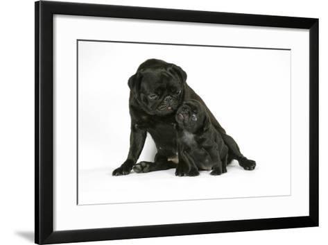 Black Pug with Black Puppy (6 Weeks Old)--Framed Art Print