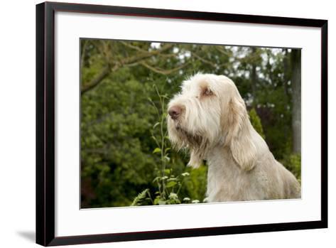 Spinone Sitting in Garden (Head Shot)--Framed Art Print