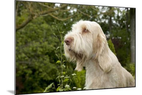 Spinone Sitting in Garden (Head Shot)--Mounted Photographic Print
