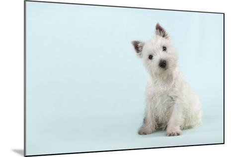 West Highland White Terrier Sitting--Mounted Photographic Print