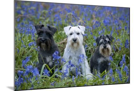 Miniature Schnauzers in Bluebells--Mounted Photographic Print