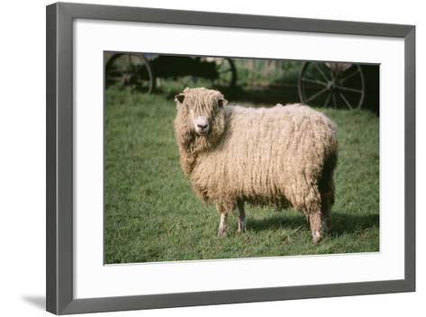 Lincoln Longwool Sheep--Framed Art Print