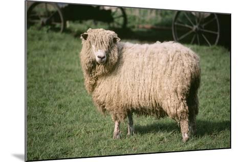 Lincoln Longwool Sheep--Mounted Photographic Print