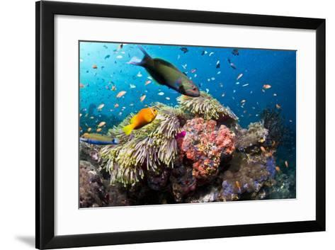 Lyretail Wrasse with Tomato Anemonefish--Framed Art Print