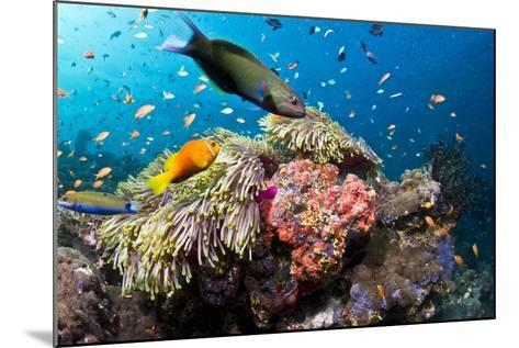 Lyretail Wrasse with Tomato Anemonefish--Mounted Photographic Print