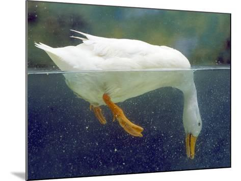 Aylesbury Duck Domestic, Above and Below Water--Mounted Photographic Print