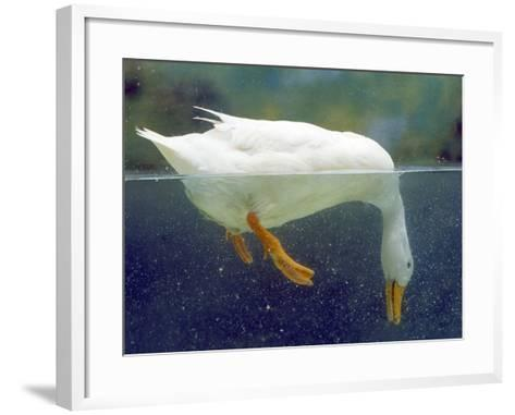 Aylesbury Duck Domestic, Above and Below Water--Framed Art Print