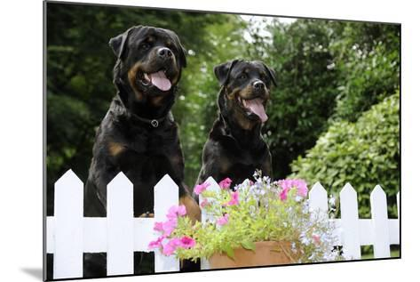 Rottweilers Looking over Fence--Mounted Photographic Print