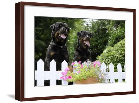 Rottweilers Looking over Fence--Framed Art Print