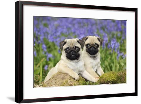 Pug Puppies Standing Together in Bluebells--Framed Art Print