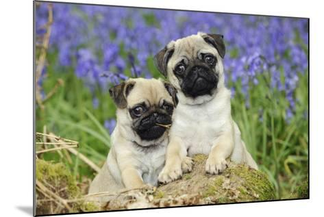 Pug Puppies Standing Together in Bluebells--Mounted Photographic Print