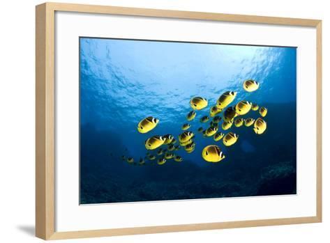 Racoon Butterflyfish--Framed Art Print