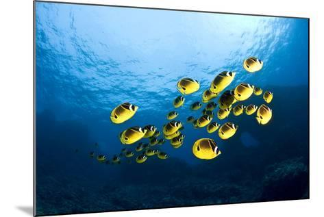 Racoon Butterflyfish--Mounted Photographic Print