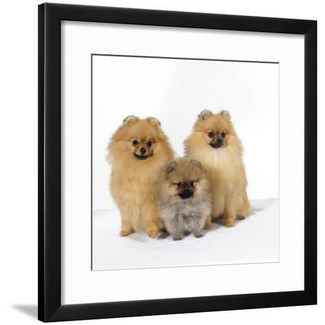 Pomeranian, Three Sitting, One Puppy, Studio Shot--Framed Art Print