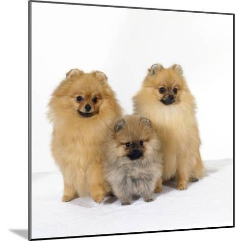 Pomeranian, Three Sitting, One Puppy, Studio Shot--Mounted Photographic Print