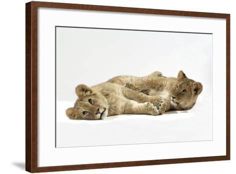 Two Lion Cubs (Approx 16 Weeks Old) Lying Together--Framed Art Print