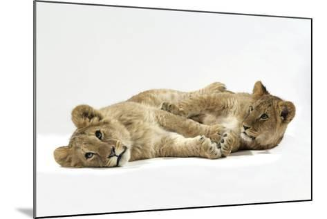 Two Lion Cubs (Approx 16 Weeks Old) Lying Together--Mounted Photographic Print