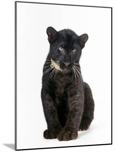 Black Panther Cub, 16 Weeks Old--Mounted Photographic Print