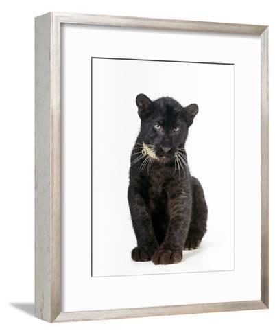 Black Panther Cub, 16 Weeks Old--Framed Art Print