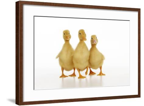 Three Ducklings Stood in a Row--Framed Art Print