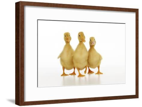 Three Ducklings Stood in a Row--Framed Art Print