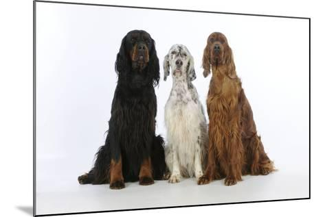 English Setter Sitting Between Gordon Setter--Mounted Photographic Print
