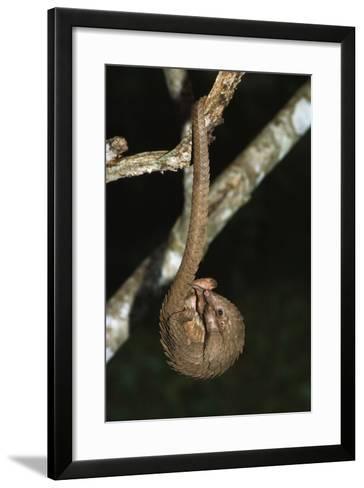White-Bellied Pangolin--Framed Art Print