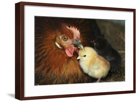 Chicken Hen with Chicks--Framed Art Print