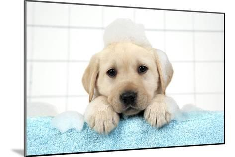 Labrador Retriever Puppy with in Bath with Soap Bubbles--Mounted Photographic Print