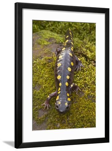 Spotted Salamander in Early Spring Migration--Framed Art Print