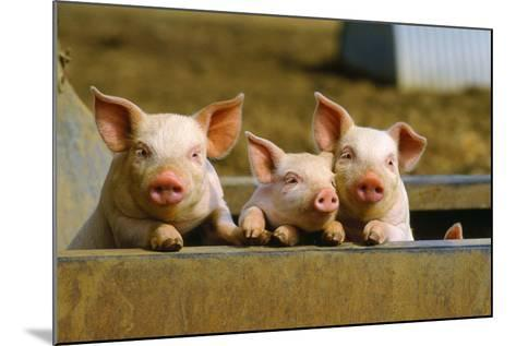 Pigs Piglets X Three Peering over Wall--Mounted Photographic Print