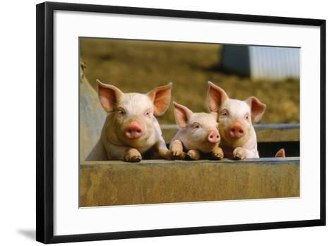 Pigs Piglets X Three Peering over Wall--Framed Art Print