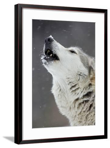 Timber Wolf Male Howling in Snow--Framed Art Print