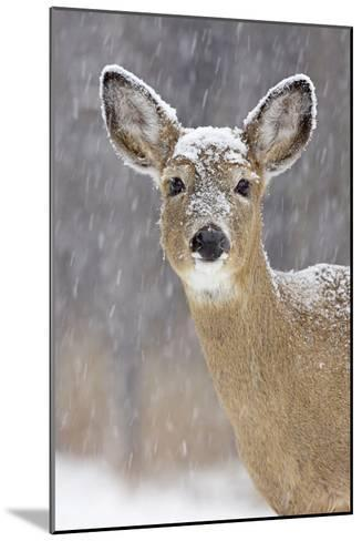 White-Tailed Deer Doe in Winter Snow--Mounted Photographic Print