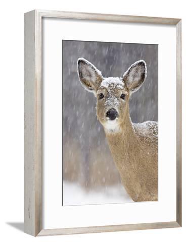 White-Tailed Deer Doe in Winter Snow--Framed Art Print