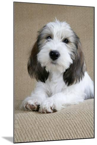 Petit Basset Griffon Vendeen Puppy 4 Months Old--Mounted Photographic Print