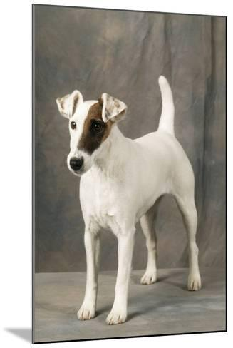 Smooth Fox Terrier Dog--Mounted Photographic Print
