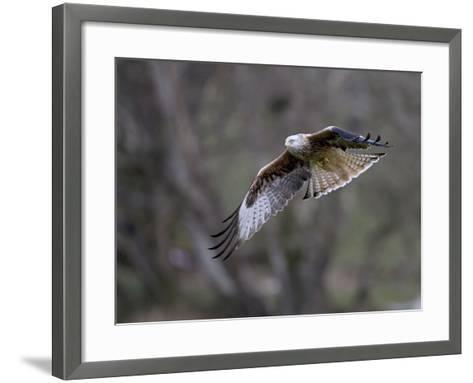 Red Kite in Flight--Framed Art Print