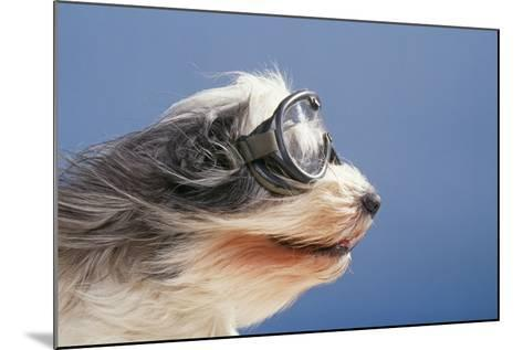 Polish Lowland SheepWearing Goggles in Wind--Mounted Photographic Print